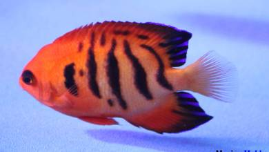 Photo of Flame angelfish (Centropyge loriculus) with vibrant orange flames