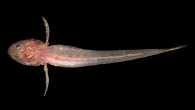 Photo of Platygobiopsis hadiatyae, A New Deep Water Goby From Indonesia