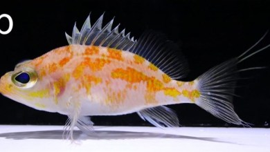 Photo of Plectranthias ryukyuensis, A New Species of Perchlet From Japan