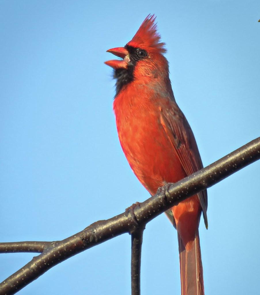 photography cardinal
