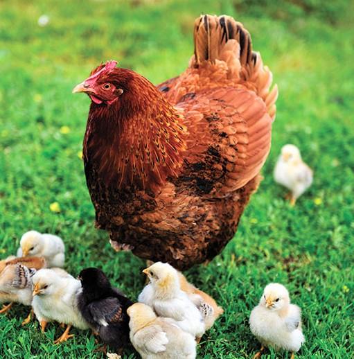chicken-hen-chicks-721960936
