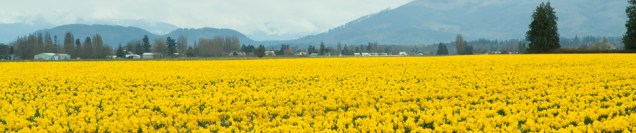 daffodil-banner-wp.jpg