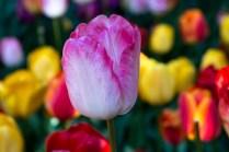 white pink tulip