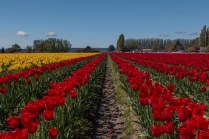 rows of yellow & red tulips