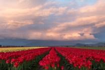 late day sun tulip field