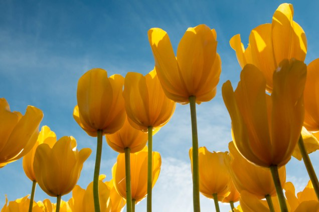 looking up at yellow tulips