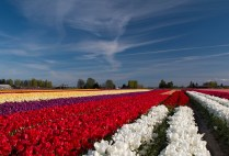 tulip field with cool sky
