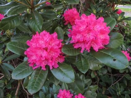 bright pink rhodie