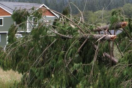 cedar tree tops on powerlines