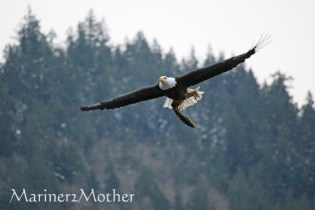 Eagle carrying dinner.