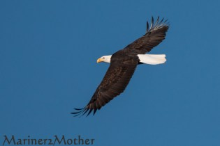 Eagle over the Nooksack River.