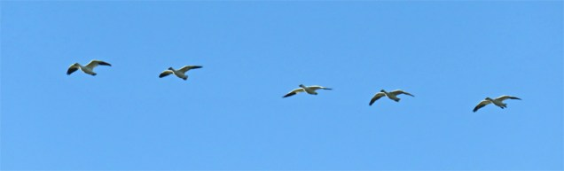 formation of snow geese