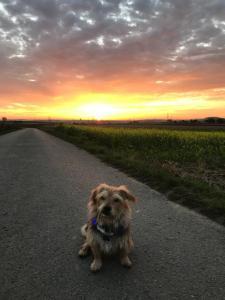 Hund mit Sonnenuntergang