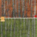 Birch Trees paintings Isle of Skye artist