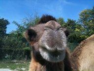 Camel at Konigstein Zoo
