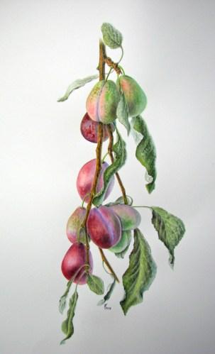 Prunus domestica 'Belle de Louvain' – pruim 'Belle de Louvain' (aquarel)