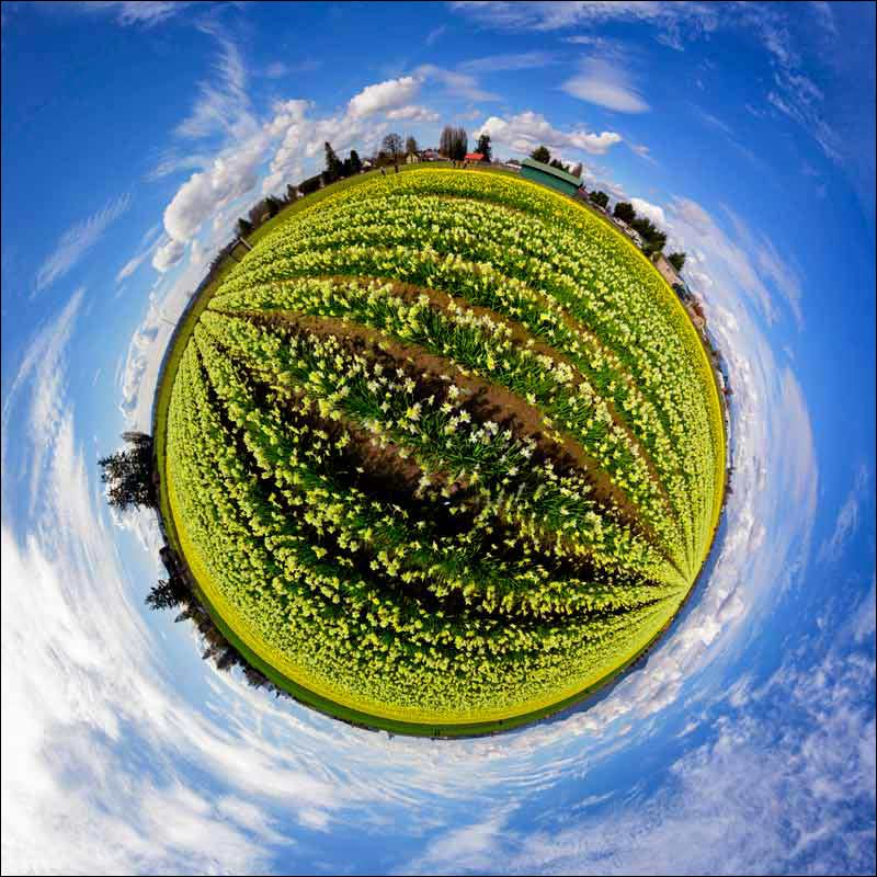 Little Planet view of a daffodil farm in Washington State
