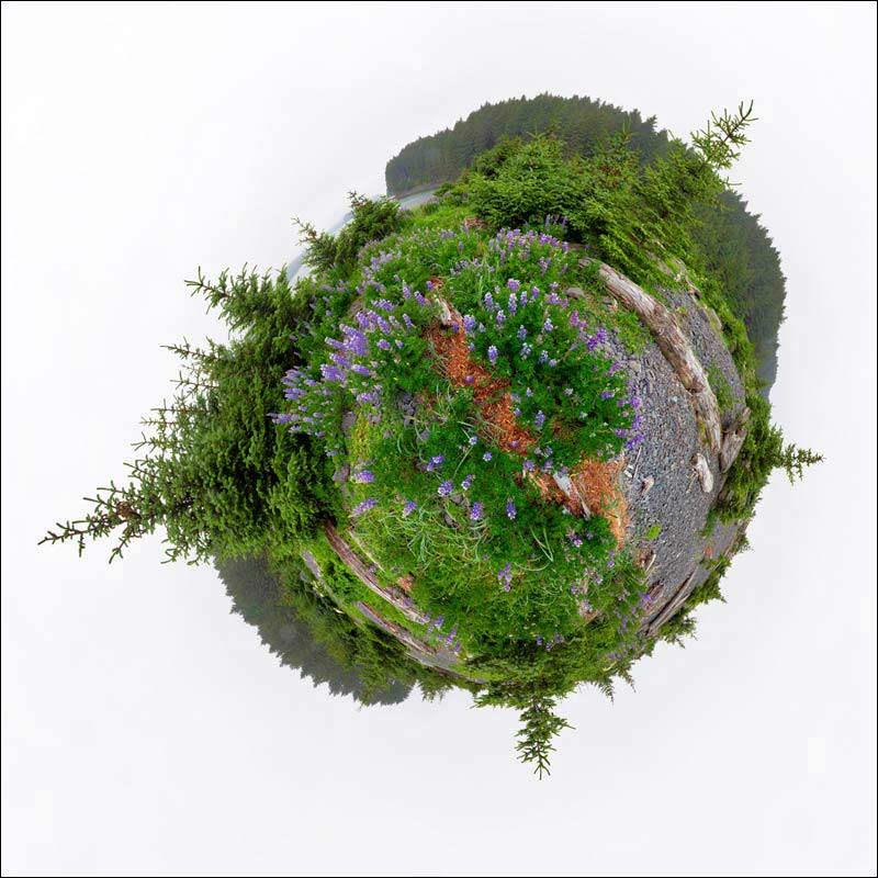 Little Planet view of Nootka lupine flowers near the ocean.