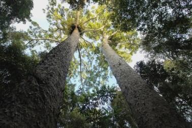 Giant Pines near Lake Barrine