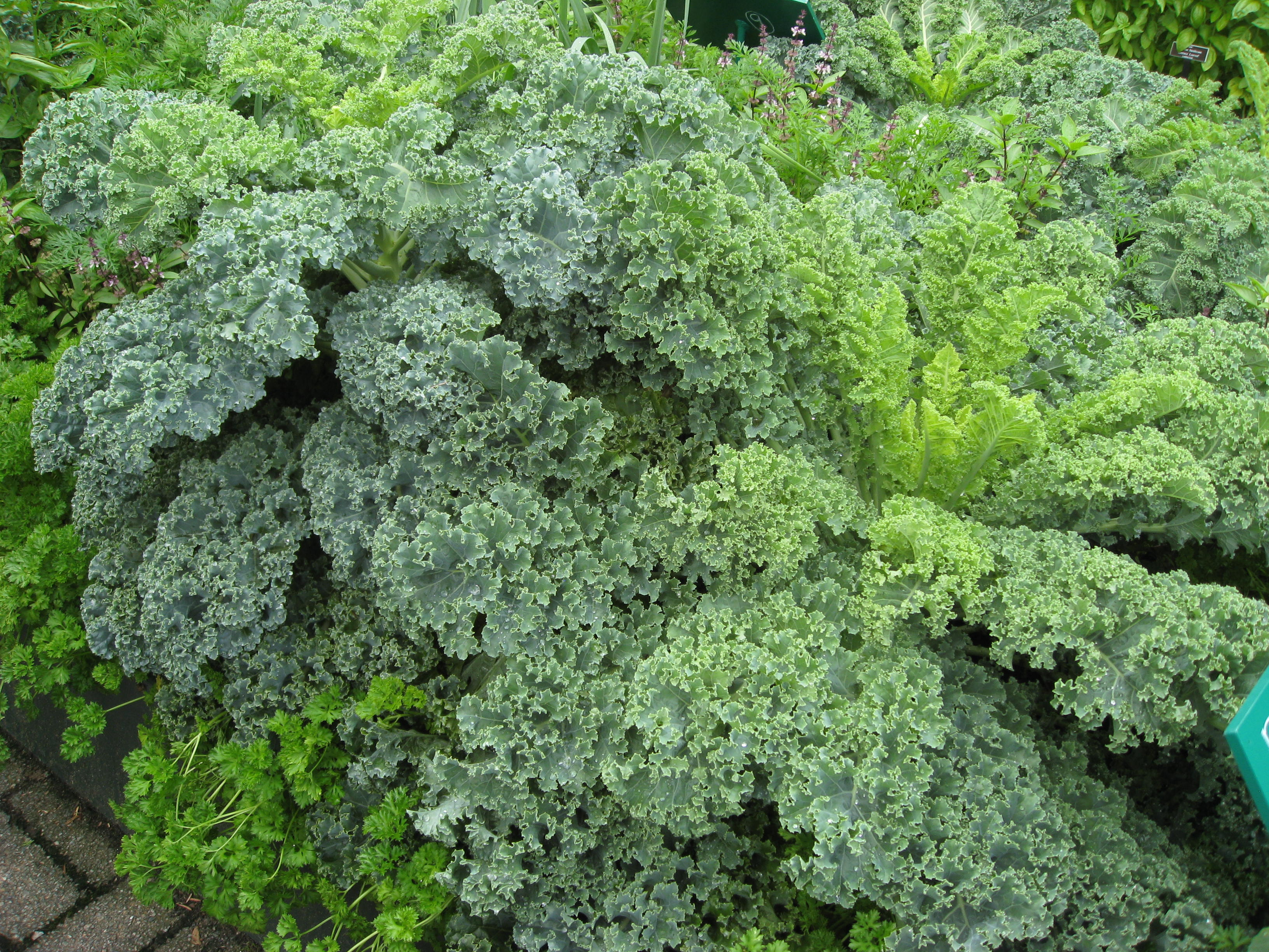 Ahhh our Beloved Kale!!!! So gorgeous!!