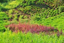 A patch of red among sweet potatoe and yams