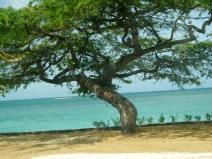 The divi-divi tree