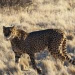 cheetah-902440__180