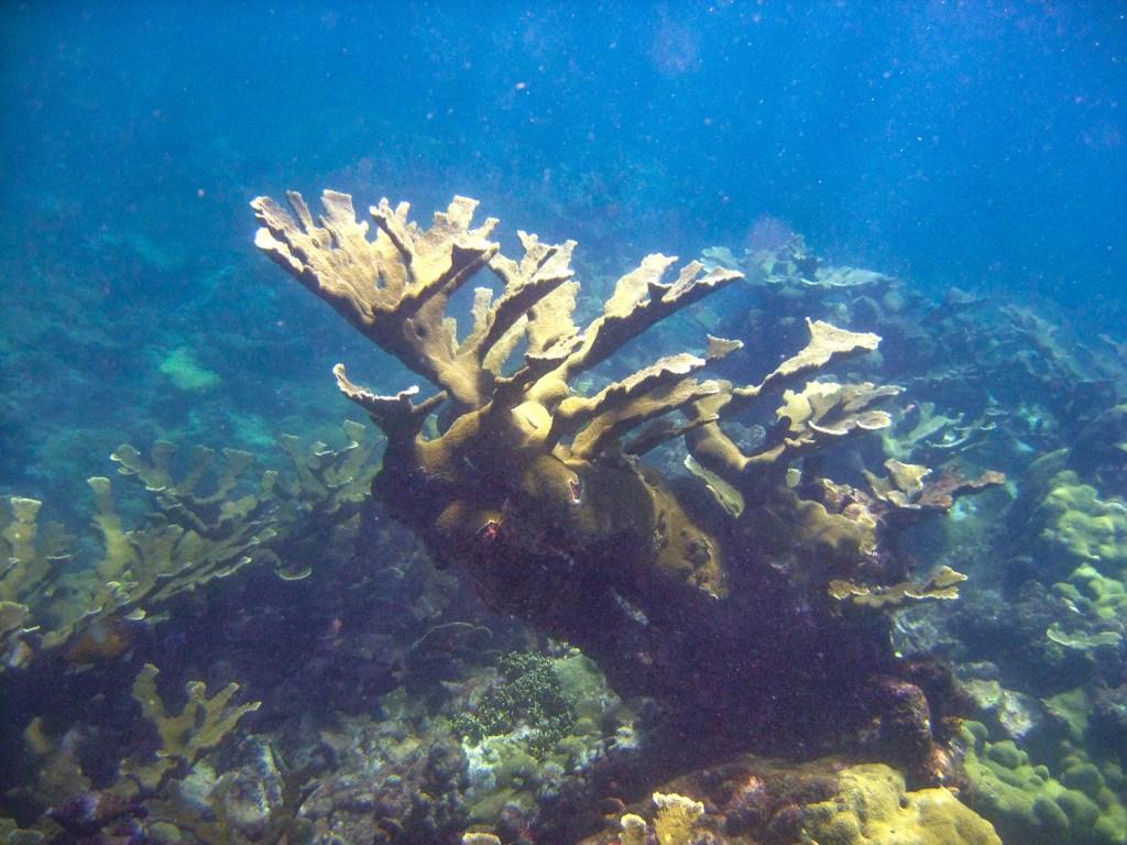Elkhorn Coral, Northeast Tobago