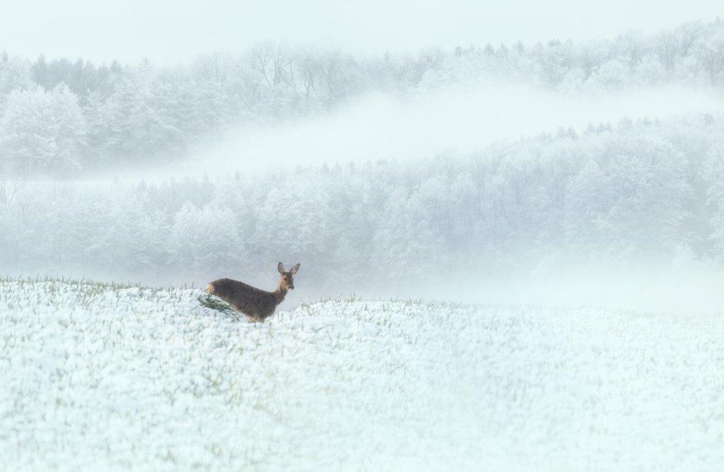Caprioare in zapada-ora de Photoshop - Iarna prin padure si zapada - momente in natura - video