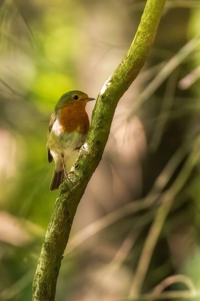 Macaleandru pasare frumoas colorata - Macaleandru-o pasare curioasa-Fotografia din natura