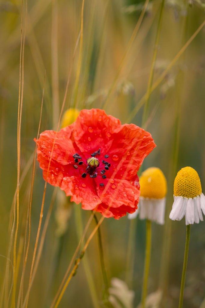 flori de mac in fotografie