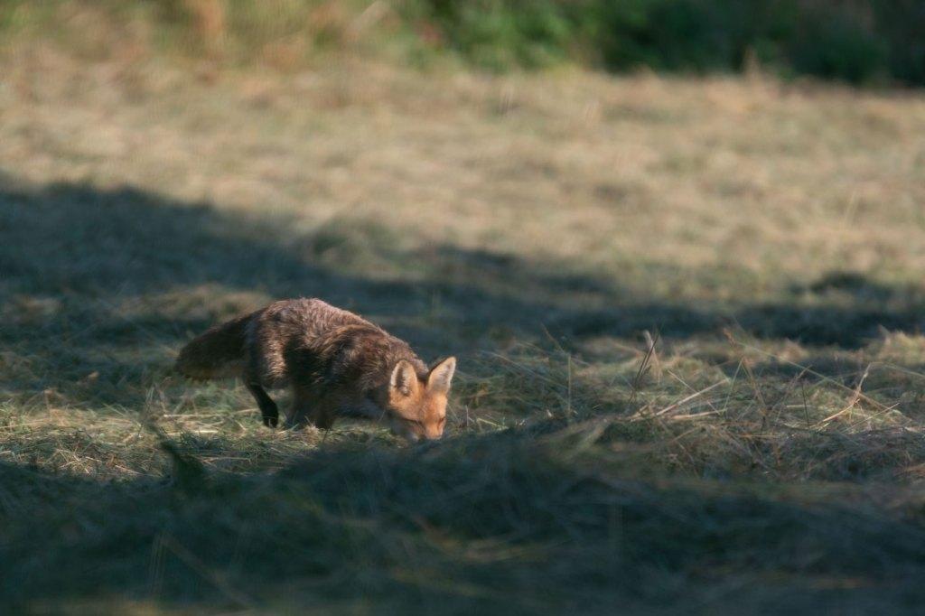 Wildlife photography-Vulpea la vanatoare de soricei - vulpea roșie sau vulpea-vulpes vulpes