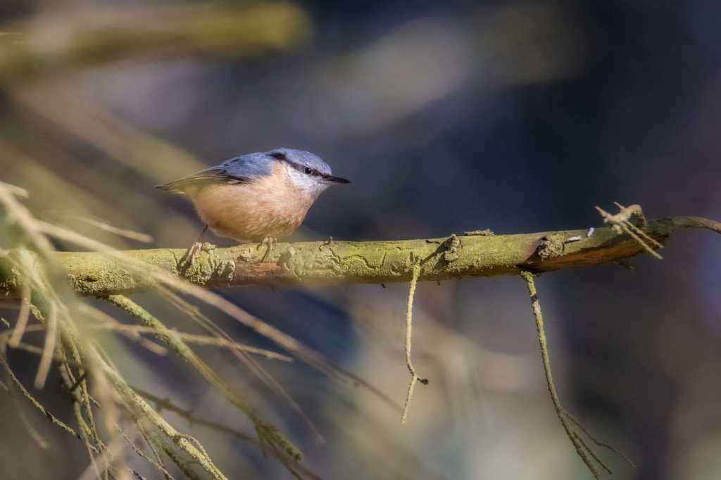 Țiclean - Sitta europaea-WILDLIFE PHOTOGRAPHY-Pasari in natura-2020
