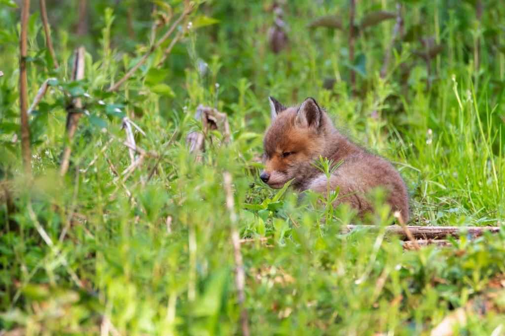 Vulpe rosie - (Vulpes vulpes)