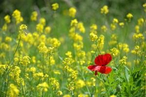Coquelicot seul au milieu d'un champ de colza: ou la définition de la différence.