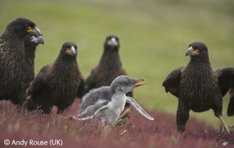 Caracaras in for the Kill