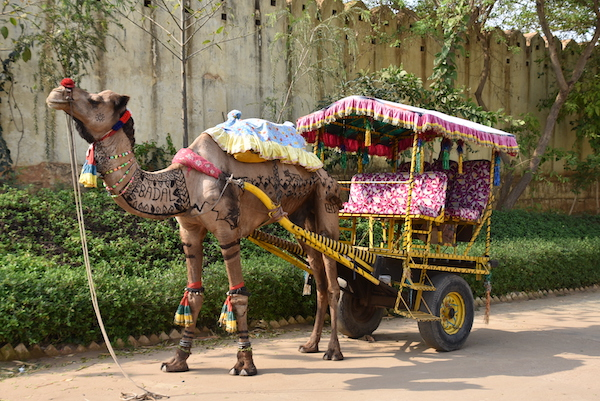 Gate 1 Travel - The Tigress Ranthambore - Ranthambore National Forest - camel cart - painted camel