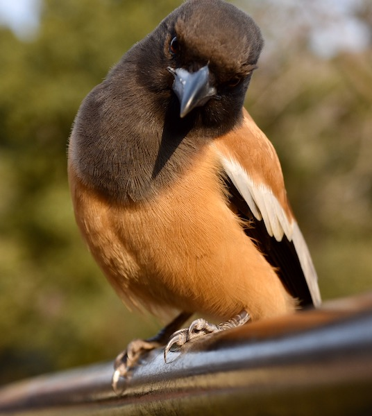 Rufous Tree Pie - Ranthambore National Forest - Ranthambore Tiger Reserve - birds of India -