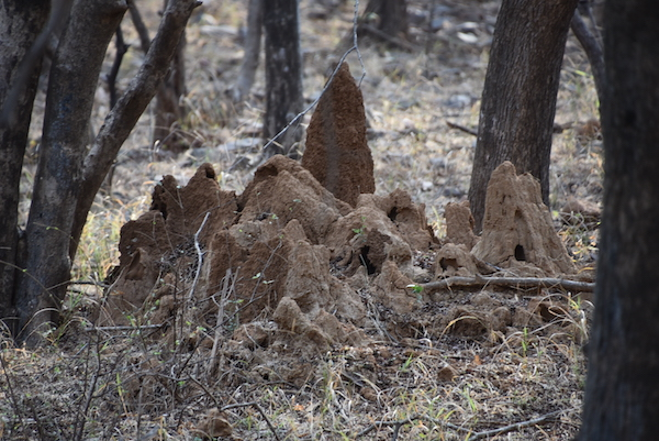 termite mounds - Ranthambore National Park - India - India trip- India travel - tiger safari