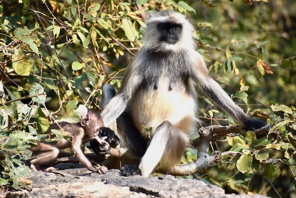 Hanuman Langurs - monkeys - baby monkey with mother - India - monkeys in India - Ranthambore - Ranthambore National Forest - Ranthambore Tiger Reserve