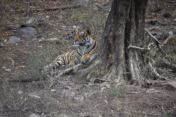male tiger- tiger- tiger safari - Royal Bengal Tiger - Ranthambore National Park