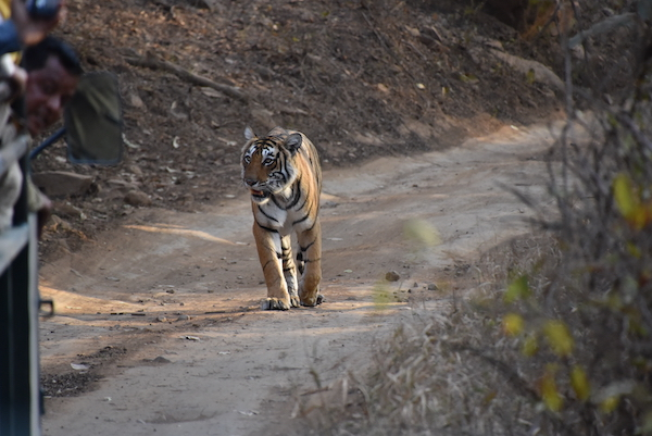 Tiger - Royal Bengal Tiger - tiger safari - tiger in the wild - Ranthambore National Park - India - India trip - India travel