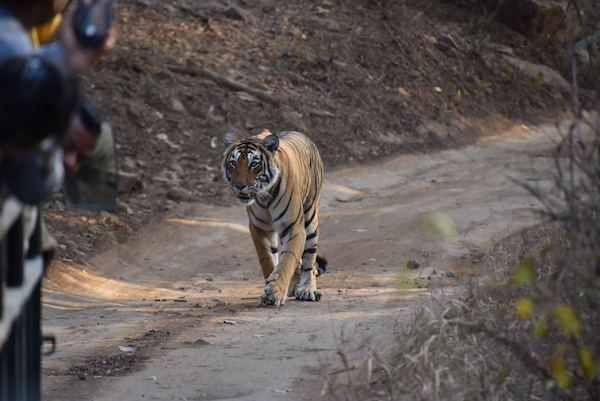 tiger - tigers in the wild - tiger safari - Ranthambore Tiger Reserve - India - India trip - India travel