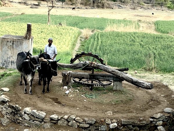 Indian and using two oxen to turn water wheel and irrigate his fields