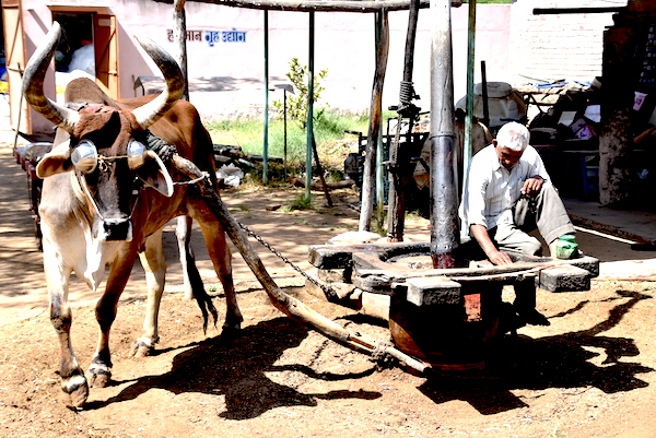 Indian man using an ox to turn press to grind sesame seeds into oil