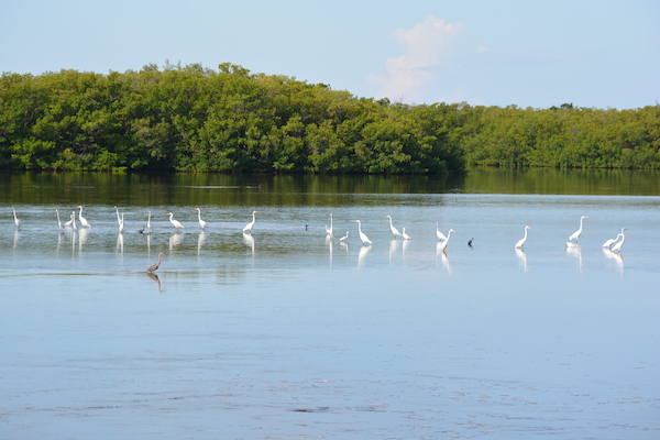 bird on the beautiful waterways of the J.N. Ding Darling Wildlife Refuge on Sanibel Island Florida