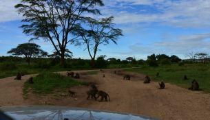 Cap baboons