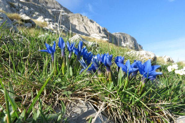 Spring Gentians in extraordinary profusion on the shoulder of Astraka's main peak