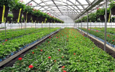 Geranium greenhouse, Mileager's, Racine, Wisconsin