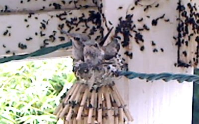 Hummingbird babies webcam